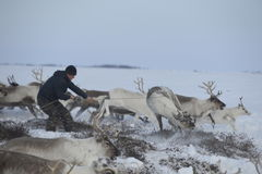 Ureinwohner ruska Arktis fängt Rotwildseil - Tynzyan! lizenzfreies stockbild