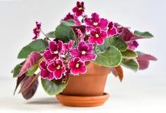 Urgence de variété de plante de violette africaine Image libre de droits
