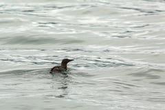 Uria swim in the waters of Pacific Ocean. Stock Photos