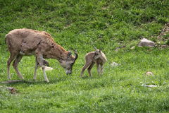Urial adult and juvenile Stock Photos