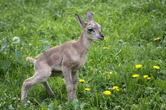 Urial juvenile Stock Photos