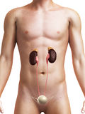 urin- male system royaltyfri illustrationer