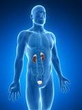Urinary system ilustracji