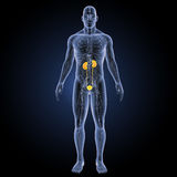 Urinary system with circulatory system anterior view Royalty Free Stock Photography