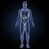 Urinary system with circulatory system anterior view Stock Photos