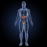 Urinary system with circulatory system anterior view Royalty Free Stock Photos