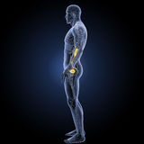 Urinary system with circulatory system lateral view Royalty Free Stock Image