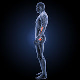 Urinary system with circulatory system lateral view Stock Photography