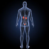Urinary system with circulatory system posterior view Stock Image