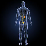 Urinary system with circulatory system posterior view Royalty Free Stock Photo