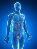 Urinary system Stock Photography