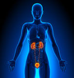 Urinary System - Female Organs - Human Anatomy Royalty Free Stock Images