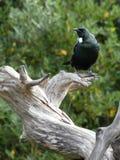 Urinating bird Stock Image