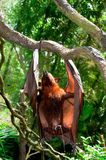 Urinating Flying Fox. A portrait of urinating flying fox hanging on tree branch Stock Images