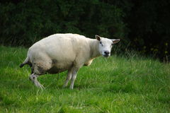 Urinating sheep Stock Image