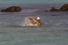 Urinator d'occidentalis de Pelecanus de pélican de Brown, sous-espèce de Galapagos, se baignant près de Seymour Island du nord Photos stock