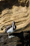Urinator d'occidentalis de Pelecanus de pélican de Brown, sous-espèce de Galapagos, sur une roche chez Isabela Island du nord Photo libre de droits