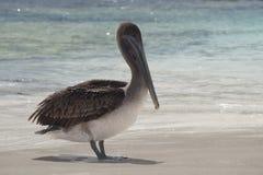 Urinator di occidentalis di Grey Pelican Bird Pelecanus fotografie stock