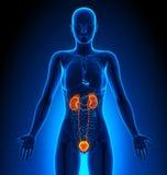 Urinausscheidendes System - weibliche Organe - menschliche Anatomie Lizenzfreie Stockbilder