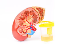 Urine sample with test strips and kidney.  stock photos