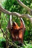 Urinerende Vleerhond stock afbeeldingen
