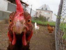 Urious κοτόπουλο Ð ¡ Στοκ Φωτογραφία