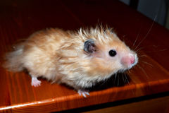 Сurious hamster Royalty Free Stock Images