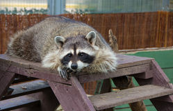 Ð¡urious raccoon. Raccoon lying on the stairs and watching royalty free stock photos