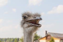 Urious struisvogel Ð ¡ Stock Afbeeldingen