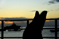 Urlando al tramonto Immagini Stock