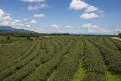 Urlaub des grünen Tees Stockfoto
