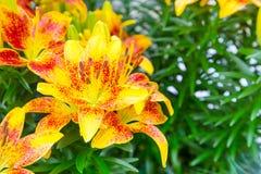 Urlaubspostkarte mit schönem gelbem und rotem Lilienblumen-Blütenabschluß oben Stockbild