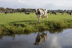 Urlo macchiato nero della mucca, riflessione in una fossa, in un paesaggio olandese tipico di terra e di acqua piane immagini stock libere da diritti