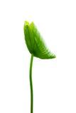 urlop lotosu trzon Zdjęcia Stock