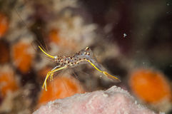 Urocaridella shrimp in Gorontalo, Indonesia underwater photo. royalty free stock images