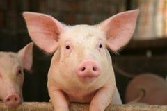 urocza świnia obrazy stock