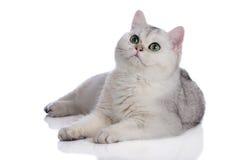 Urocza brytyjska shorthair figlarka na bielu Obrazy Royalty Free