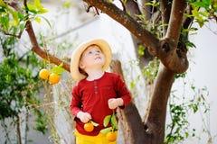 Urocza chłopiec podnosi świeżego dojrzałego tangerine w pogodnym tangerine drzewa ogródzie w Włochy w słomianym kapeluszu Obrazy Stock