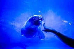 Urocza foka w Hanwah Aqua planecie Jeju, lokalizować niedaleki Seopjikoj Fotografia Stock