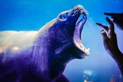 Urocza foka w Hanwah Aqua planecie Jeju, lokalizować niedaleki Seopjikoj Obrazy Royalty Free