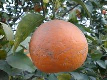 Urocza i świeża pomarańcze obrazy royalty free