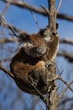 Urocza koala Zdjęcia Royalty Free