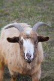 urocza koza Obraz Stock