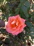 Urocza menchii róża Obraz Royalty Free