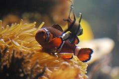 Urocza pomarańcze, biel Clownfish i przyjaciel Obrazy Stock