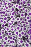 Urocza purpury okwitnięcia stokrotka kwitnie tło Zdjęcie Stock