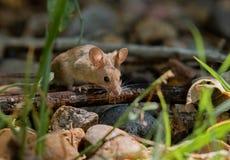 Urocza Śródpolna mysz na polowaniu fotografia royalty free