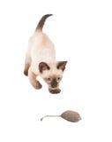 Urocza Syjamska figlarka wokoło atakować zabawkarskiej myszy Zdjęcie Stock