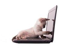 Urocza Syjamska figlarka wskazuje przy ekranem laptop Zdjęcia Royalty Free