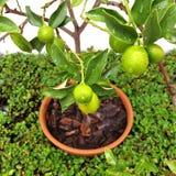 Urocza Złota pomarańcze (mini) Fotografia Stock